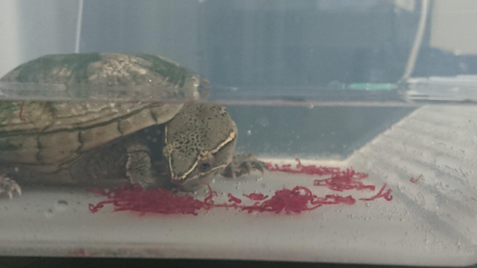 我が家のカメ(ミシシッピーニオイガメ)の好物「冷凍赤虫」