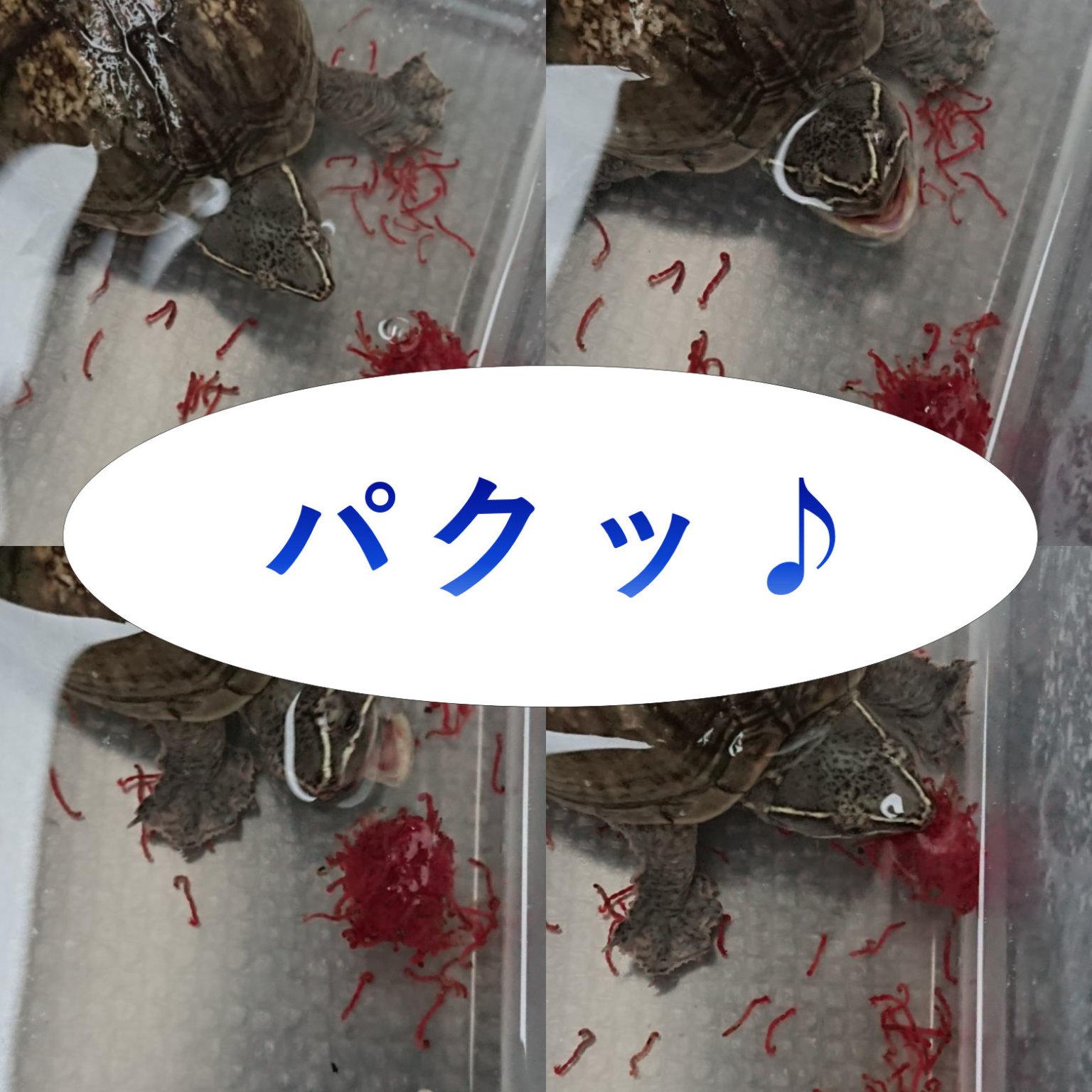 我が家のカメ♪赤虫に食らいつく黒豆ちゃん(ミシシッピニオイガメ)