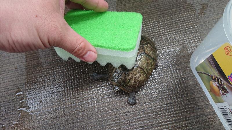 亀の甲羅をきれいに洗ってあげよう♪甲羅の汚れの原因とは?