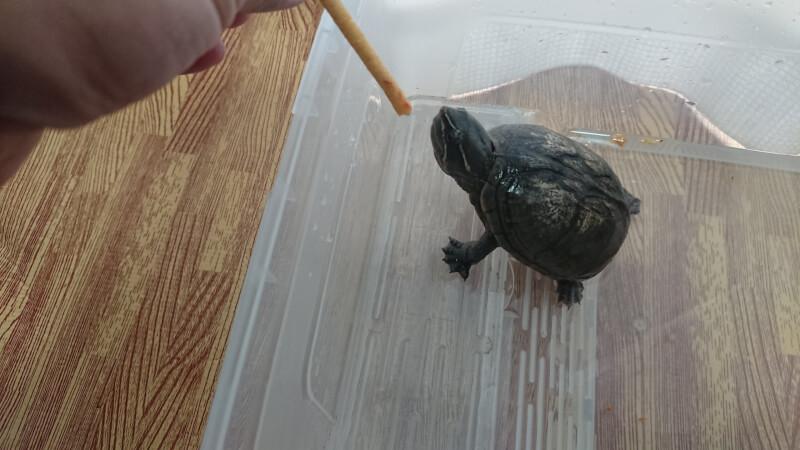 手で持ちながらあげれるカメのエサ「ごちそうスティック」がおすすめ♪我が家のカメ(ミシシッピニオイガメ)