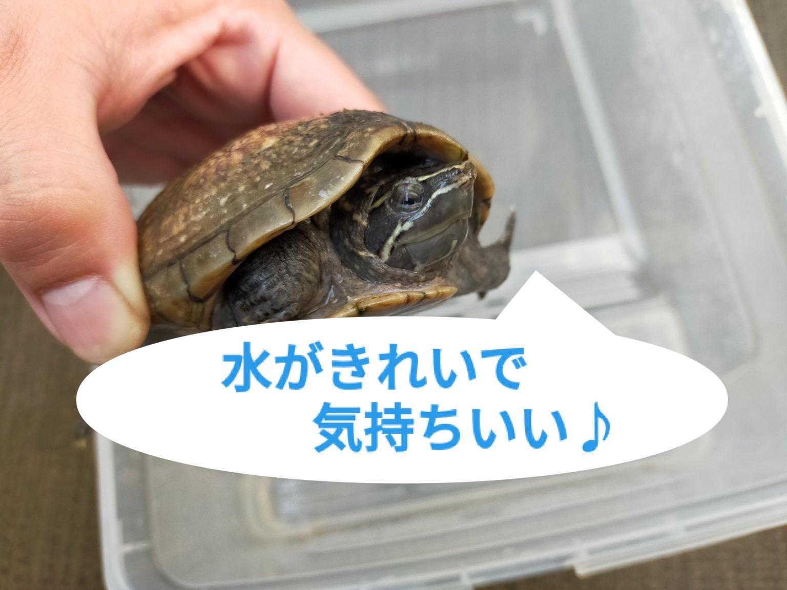 【水替えとエサやり】暖かくなってきて元気いっぱいの黒豆ちゃん♪【ミシシッピニオイガメの飼育】