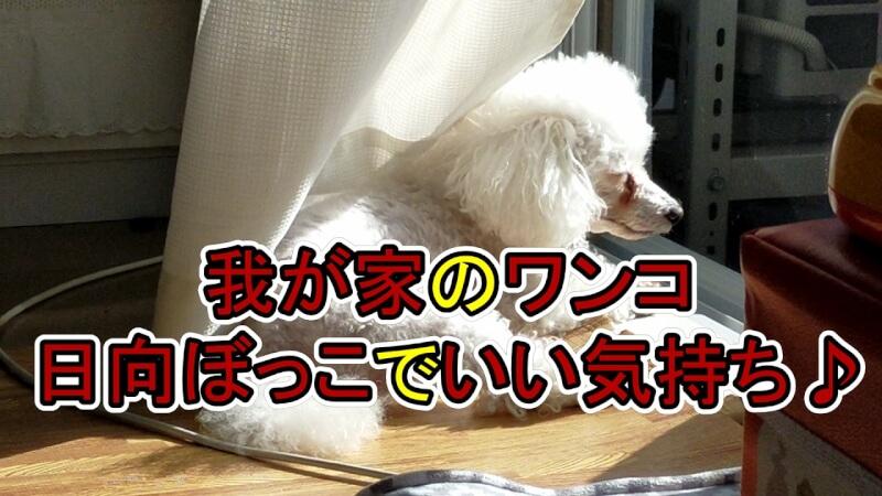 【我が家のワンコ】「猫ちゃんみたいに窓際で日向ぼっこ」したり「袋潰し」が大好きです【動画付き】