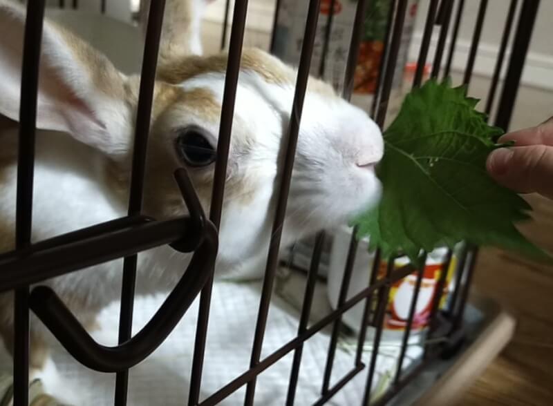 ウサギの大好物のシソの葉(大葉)を娘と食べさせてあげました♪【我が家のウサギちゃん】