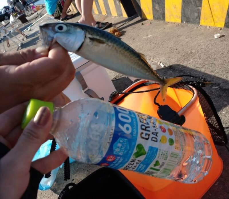 【大阪】サビキ釣りで大量150匹!!汐見埠頭(砂上げ場)でファミリーフィッシング【釣り】サバ
