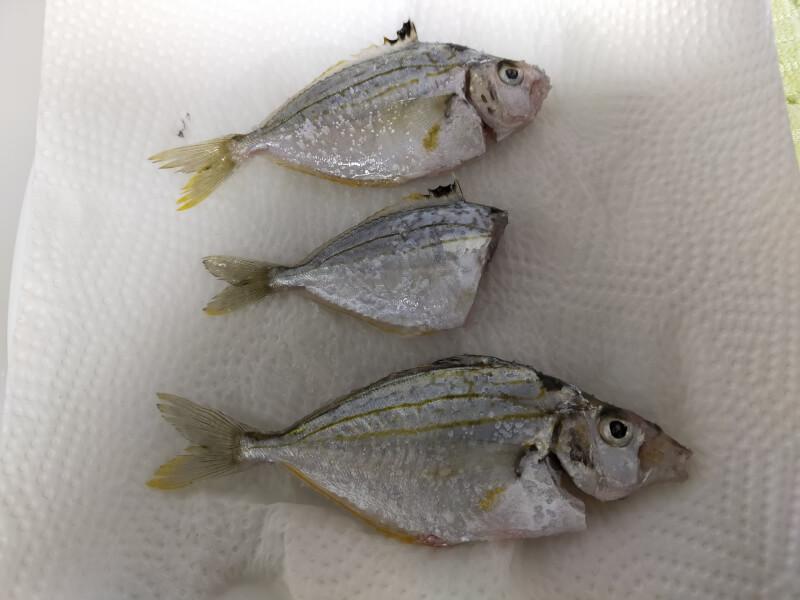ヌルヌルすぎる奇妙な魚!?「ヒイラギ」食べてみたら絶品でした【ファミリーフィッシング】