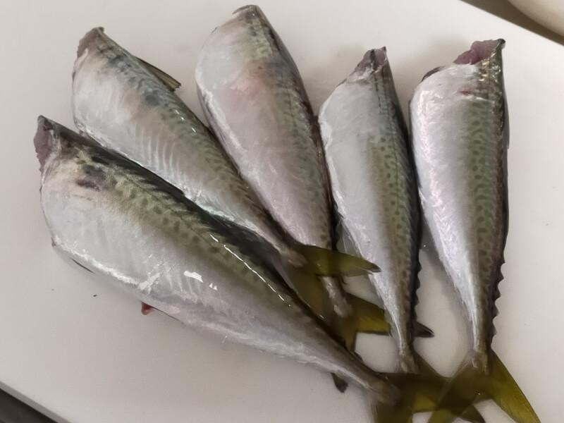 サゴシ(サワラ)をはじめて捌いて料理に挑戦!美味さに感動!?【ショアジギで人気の魚種】サバ