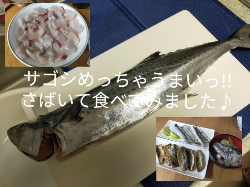サゴシ(サワラ)をはじめて捌いて料理に挑戦!美味さに感動!?【ショアジギで人気の魚種】