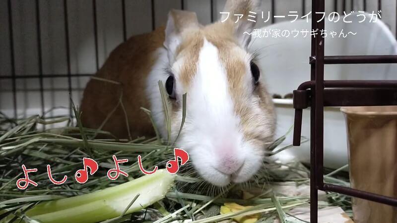 【我が家のうさぎちゃん】娘と一緒にウサギちゃんにクッキーをあげました♪【ミニウサギの飼育】