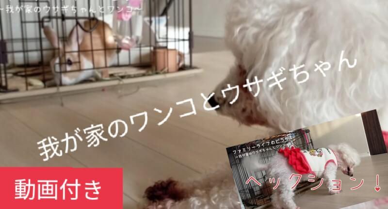 我が家ワンコとウサギちゃん♪犬の「くしゃみ」を偶然撮影♪ウサギちゃんはニンジンが大好き♪