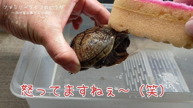 水換えと一緒にカメの甲羅を洗ってあげました♪【ミシシッピニオイガメの飼育】怒っている亀