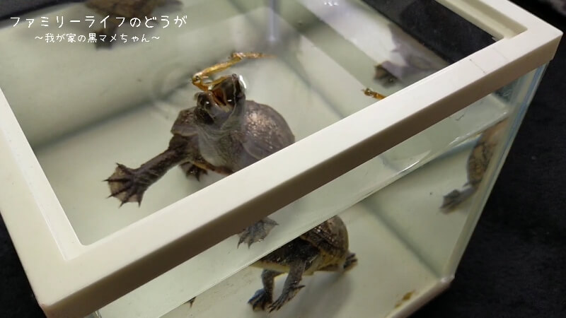 水換えと一緒にカメの甲羅を洗ってあげました♪【ミシシッピニオイガメの飼育】
