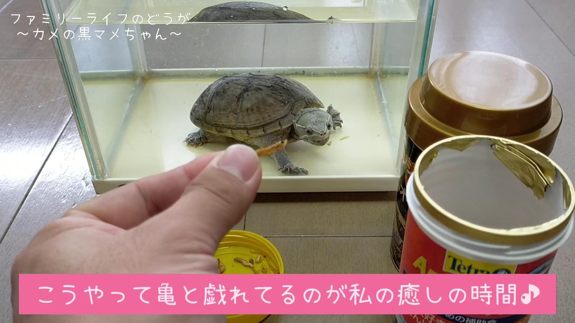 【癒やしの時間】我が家の黒マメちゃんのご飯タイム【ミシシッピニオイガメの飼育】